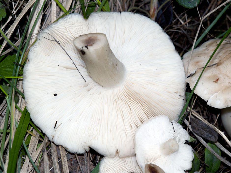 Рядовки грибы отзывы