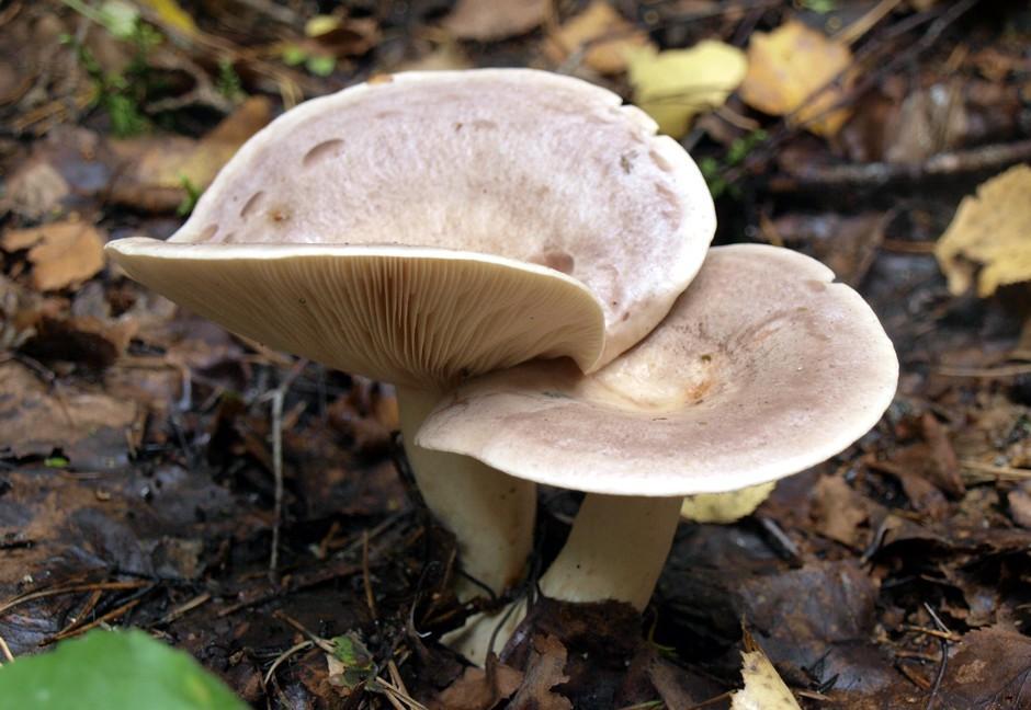 млечники грибы фото как готовить