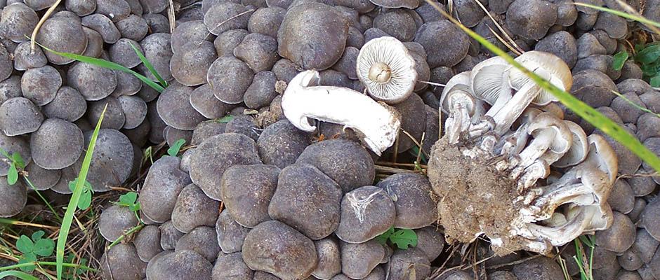 рядовка грибы фото скученная