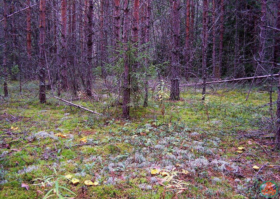 фото грибов в лесу лисичек